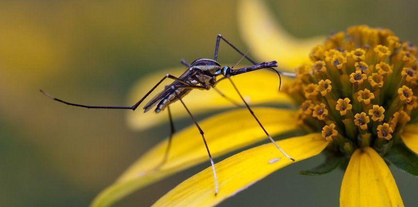 Mosquitos adultos